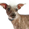 Worlds_Ugliest_Dog_2014_bandit_12801