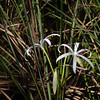 String Lily :  Swamp Lily : Seven Sisters