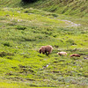 Denali Nat'l Park (Grizzly Bears), Alaska