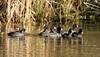 20150106-0088 - American Coots