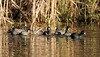 20150106-0080 - American Coots