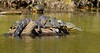 20150106-0549 - Alligator and Yellow-bellied Sliders