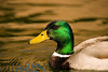 Ripples<br /> <br /> Portrait of a Mallard drake making ripples in Inks Lake State.<br /> <br /> Image # 80066_1123