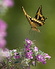 Swallowtail Landing  A Giant Swallowtail landing on a flower. This image was captured in Coryell County, Texas.  Image # 50119_0163