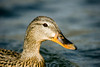 Head Shot  I shot this portrait of the Mallard hen at Inks Lake State Park.  Image # 80066_0639