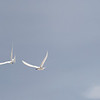 Two fairy terns, Aride