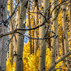 fall-aspen-trunks-3