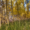 yellow-aspen-forest-1