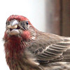 Rosy finches were back today. I love the colorful crown and throat. So I went in for an Extreme Close Up. Check out the little tufts around the base of the beak. If you prefer the more traditional shot, they're here: http://smu.gs/1ffj5Uy