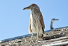 Juvenile Night Heron. Redondo Pier, Oct 10, 2013.