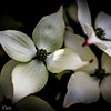 Dogwood, Oakland, CA - May 3, 2014