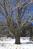 08 Old tree at Ezekiel Jewett home Temple NH-poss planted by EJ