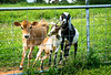 Darcy, Maisey, and Dottie ... the pals of the pasture