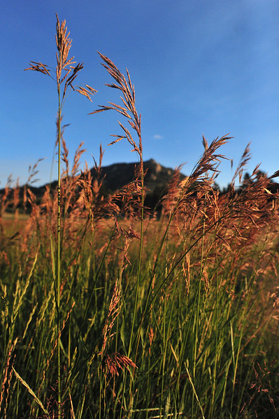 Wild grass grows tall in the green space along Carriage Drive on Wednesday. Recent rain has helped refill depleated reservoirs, lesson fire danger and improved the growth of area flora.