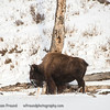 Feels so goooooood!!!!!!  Bison scratching on a tree.