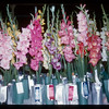 Uncle Walt's prize-winning Gladiolas.