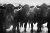 herd in dust bw