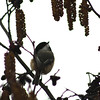 Chickadee on Spotted Alder