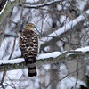 "Sharp-shinned Hawk (""Sharpie"")"