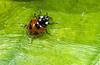 ladybug, green leaf, insect, red, orange, black