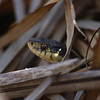 Garter Snake - Spirit Lake marsh area