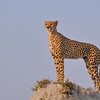Cheetah on a high termite mound http://500px.com/madaboutcheetah http://500px.com/photo/15746473
