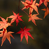 Maple leaves along the Kiyotaki River, Kyoto.