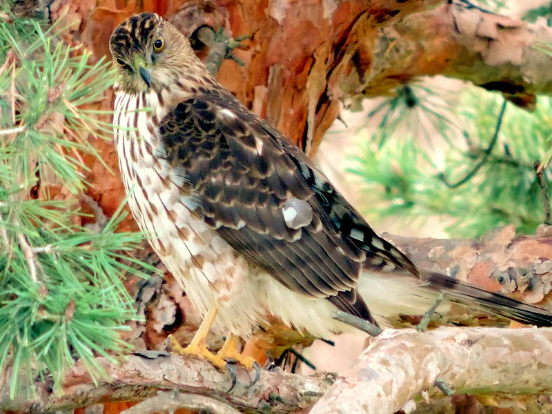 Coopers Hawk; Northern California
