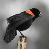Red Winged Black Bird; The Delta; Northern California