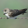 I believe this a young swallow or swift that I photographed in Bethel Island, CA on Father's Day 2008