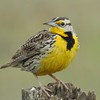 Western Meadowlark; Northern California