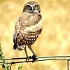 Burrowing Owl; Brentwood, CA