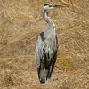 Great Blue Heron; Northern California