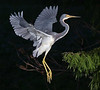 Description - Tricolored Heron Title - Tricolored Heron - Lance Warley