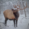 Bull Elk - Grand Canyon - Arizona