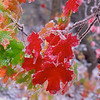 00100115 Red and green maple leaves H