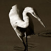 Reflection, Great Egret
