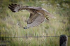 This is a Northern Harrier hawk.  Unlike the Red-tailed hawks these guys don't hand around.