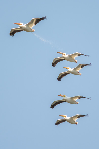 BOMBS AWAY!!! The other Pelicans should have had their googles on.