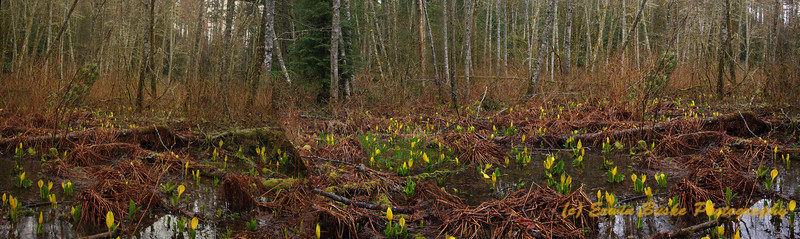 Cougar Mountain Shy Bear Pond Skunk Cabbage