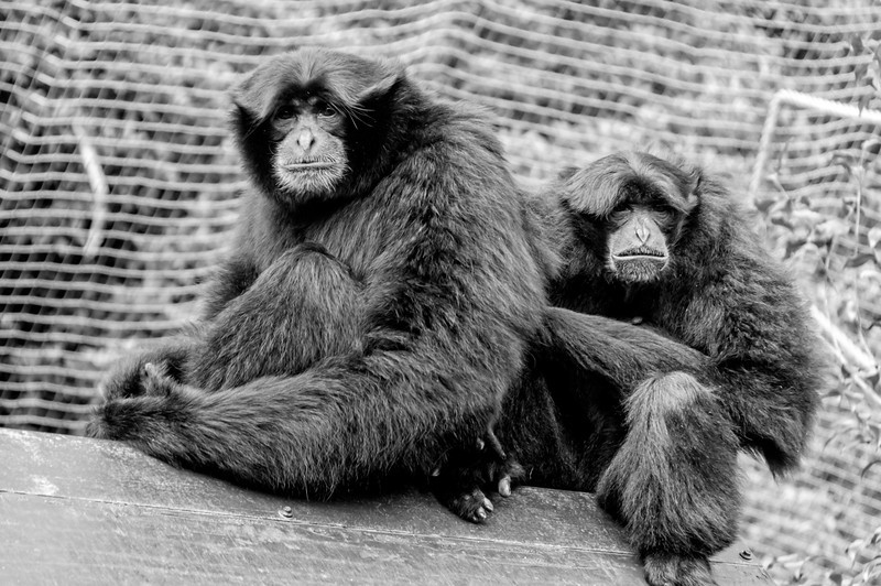 Iwani and Kera Siamang gibbons