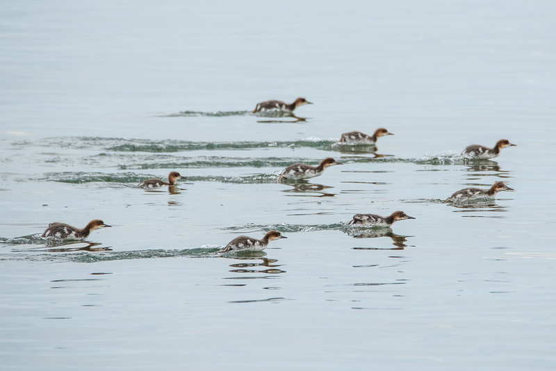 "ANIMALS BY AIR 6467<br /> <br /> ""The race is on!""<br /> <br /> Young mergansers apparently having a drag race on the waters of Grand Portage Bay in northeast Minnesota :-)"