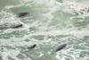 "OREGON 2959<br /> <br /> ""Surfing Seals""<br /> <br /> Near Heceta Head Lighthouse"