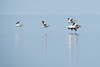 "ANIMALS BY AIR 4567<br /> <br /> ""Pelicans on Grand Portage Bay""<br /> <br /> Grand Portage, MN - May 2, 2015"