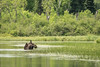 "MOOSE 6649<br /> <br /> ""Cow Moose, Pigeon River""<br /> <br /> Grand Portage, MN"