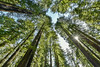 "CALIFORNIA 2665<br /> <br /> ""The Magnificent Redwoods""<br /> <br /> Lady Bird Johnson Grove - Redwood National Park"