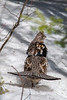 "RUFFED GROUSE 3954  ""Early Spring Grouse"""