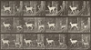Fallow deer, buck and doe trotting (Animal Locomotion, 1887, plate 685)