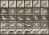 Horses rearing, etc., some with rider (Animal Locomotion, 1887, plate 652)