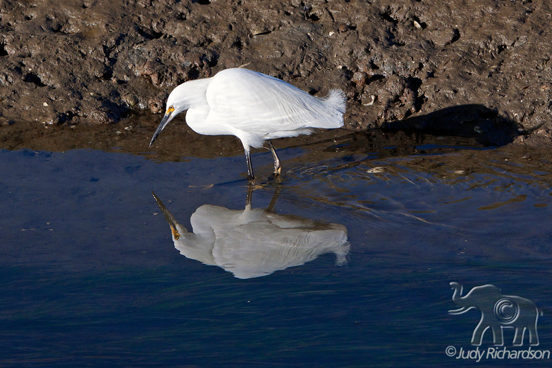 Snowy Egret ~ Bolsa Chica Wetland ~ Huntington Beach, California